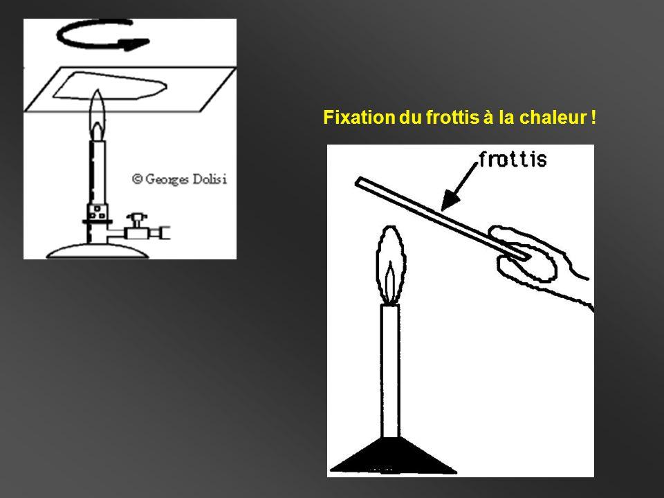 Frottis double spots (S : Gram + / E : Gram -) S E Frottis spot double : S + E S + E Le violet de Gentiane colore les bactéries en violet.
