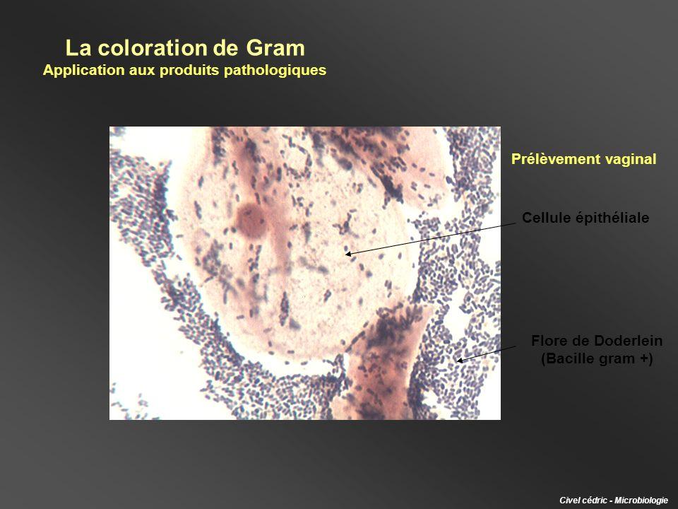 La coloration de Gram Application aux produits pathologiques Civel cédric - Microbiologie Prélèvement vaginal Cellule épithéliale Flore de Doderlein (