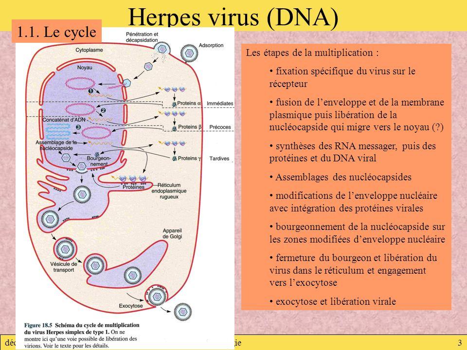 décembre 2007Virologie3 Herpes virus (DNA) Les étapes de la multiplication : fixation spécifique du virus sur le récepteur fusion de lenveloppe et de