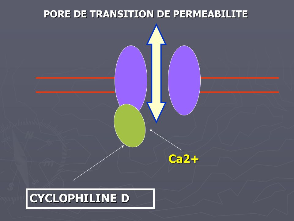 CYCLOPHILINE D Ca2+ PORE DE TRANSITION DE PERMEABILITE