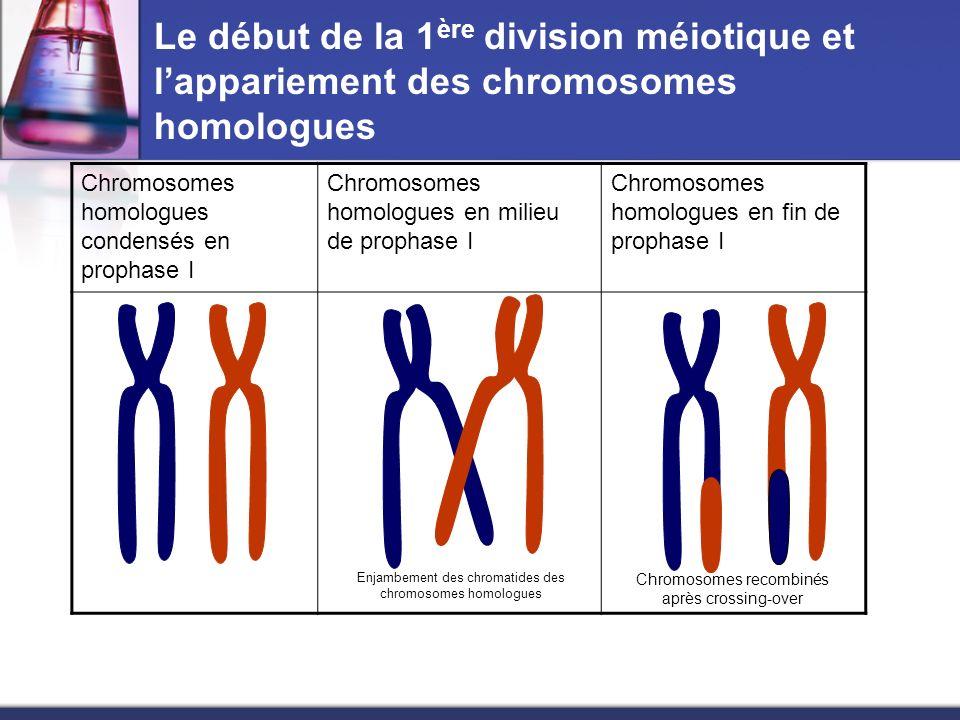 Le début de la 1 ère division méiotique et lappariement des chromosomes homologues Chromosomes homologues condensés en prophase I Chromosomes homologu
