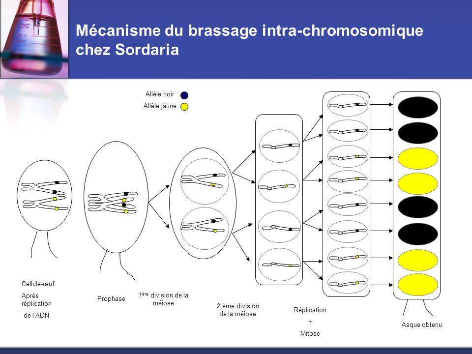 Mécanisme du brassage intra-chromosomique chez Sordaria Cellule-œuf Après réplication de lADN Allèle noir Allèle jaune Prophase 1 ère division de la m