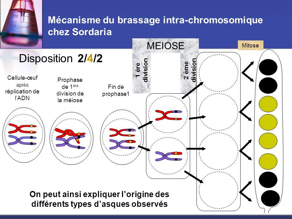 2 ème division Mécanisme du brassage intra-chromosomique chez Sordaria Cellule-œuf après réplication de lADN Fin de prophase1 1 ère division MEIOSE Mi