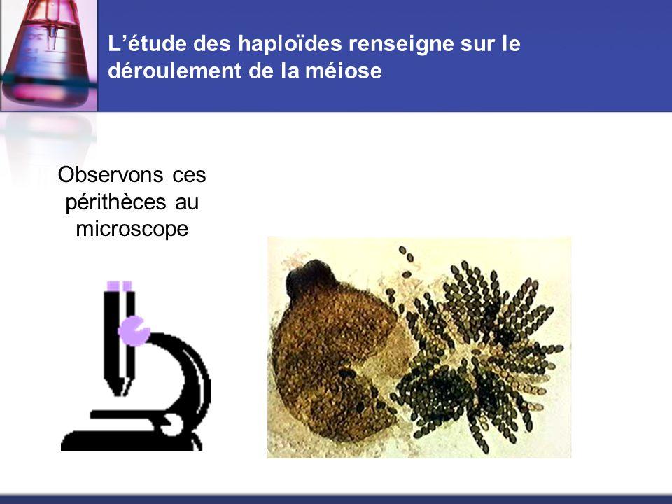 Létude des haploïdes renseigne sur le déroulement de la méiose Observons ces périthèces au microscope