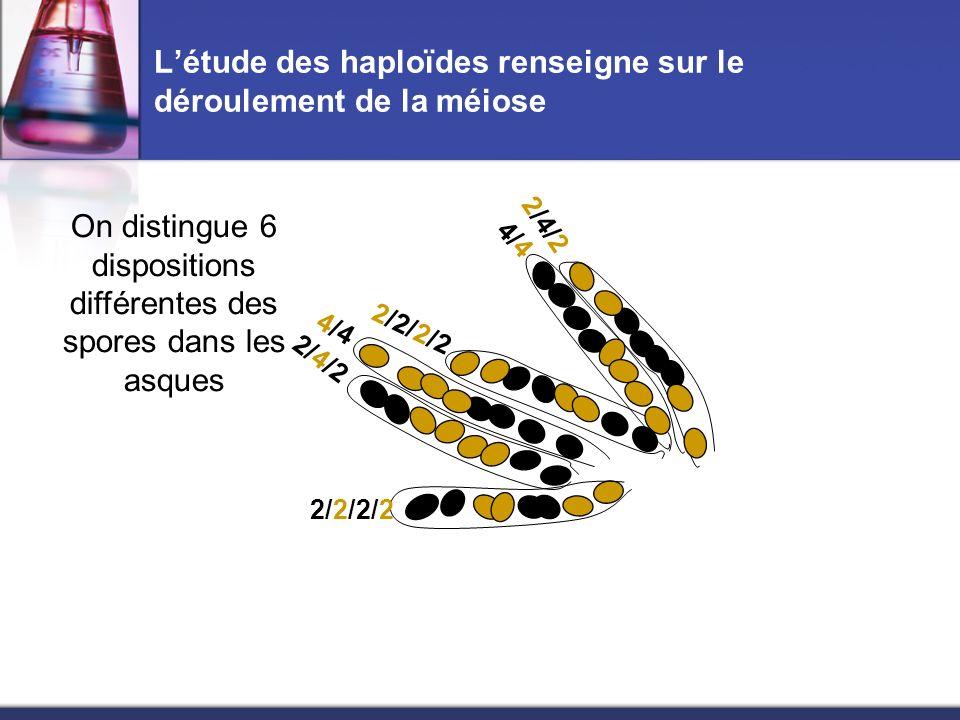 Létude des haploïdes renseigne sur le déroulement de la méiose On distingue 6 dispositions différentes des spores dans les asques 4/4 2/2/2/2 2/4/2