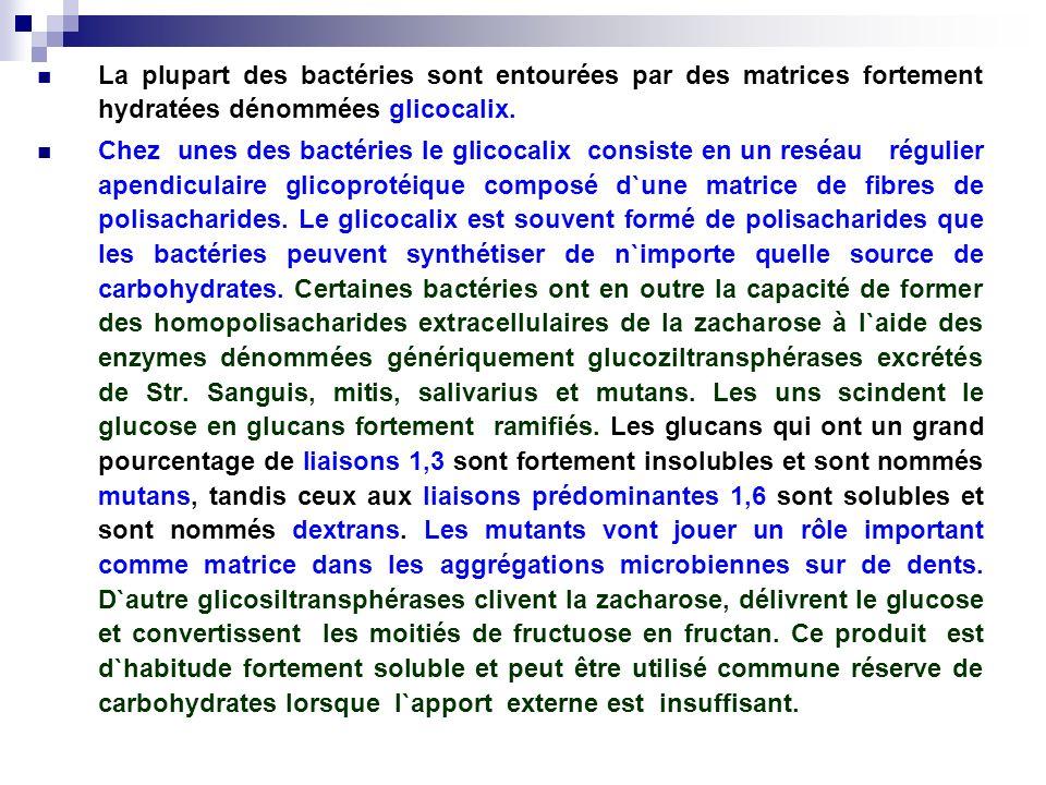 La plupart des bactéries sont entourées par des matrices fortement hydratées dénommées glicocalix. Chez unes des bactéries le glicocalix consiste en u
