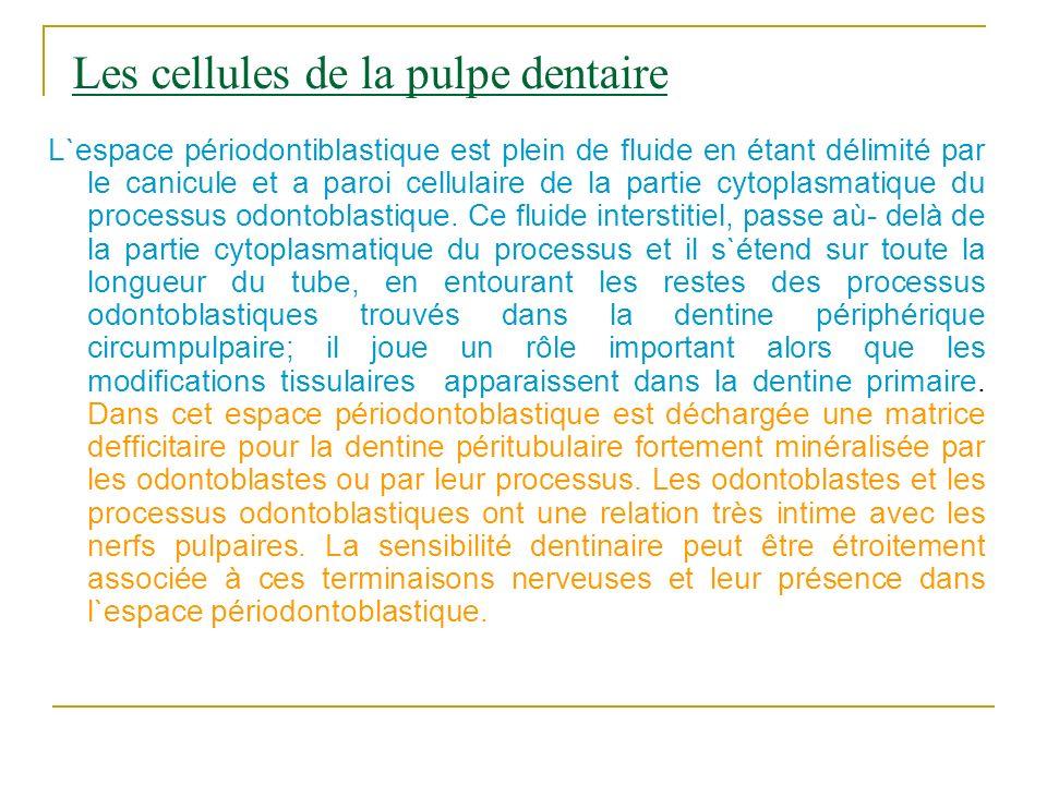 Les cellules de la pulpe dentaire L`espace périodontiblastique est plein de fluide en étant délimité par le canicule et a paroi cellulaire de la parti