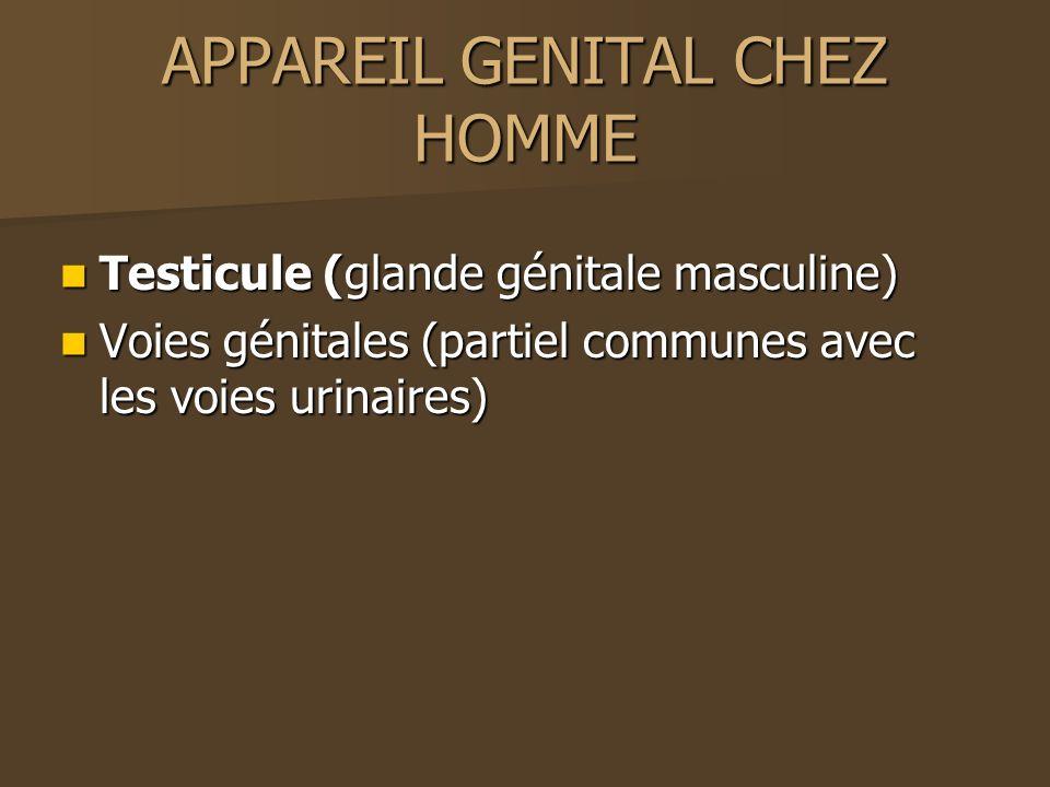 APPAREIL GENITAL CHEZ HOMME Testicule (glande génitale masculine) Testicule (glande génitale masculine) Voies génitales (partiel communes avec les voi