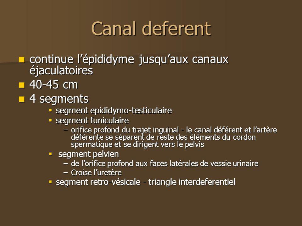 Canal deferent continue lépididyme jusquaux canaux éjaculatoires continue lépididyme jusquaux canaux éjaculatoires 40-45 cm 40-45 cm 4 segments 4 segm