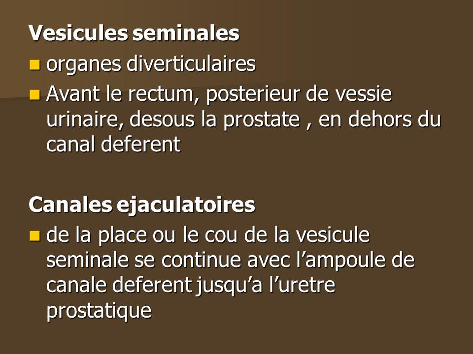 Vesicules seminales organes diverticulaires organes diverticulaires Avant le rectum, posterieur de vessie urinaire, desous la prostate, en dehors du c