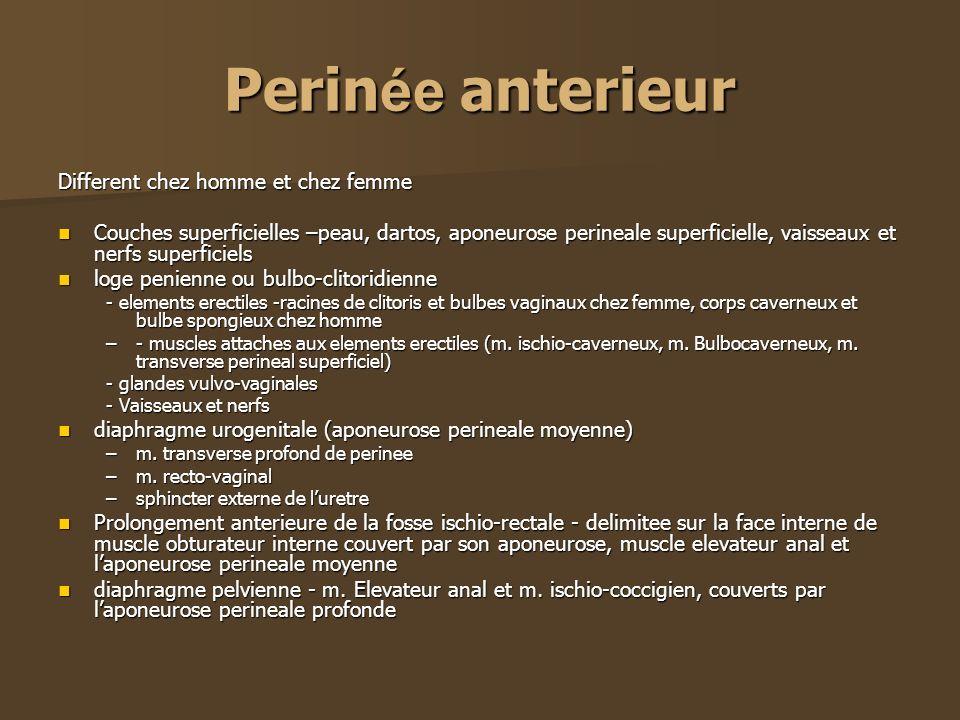 Perin ée anterieur Different chez homme et chez femme Couches superficielles –peau, dartos, aponeurose perineale superficielle, vaisseaux et nerfs sup