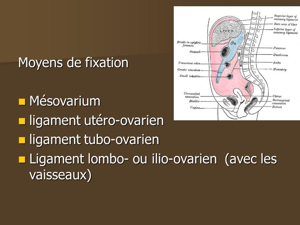 Moyens de fixation Mésovarium Mésovarium ligament utéro-ovarien ligament utéro-ovarien ligament tubo-ovarien ligament tubo-ovarien Ligament lombo- ou