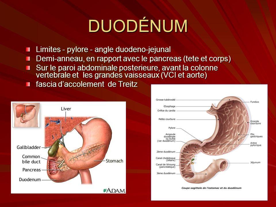 DUODÉNUM Limites - pylore - angle duodeno-jejunal Demi-anneau, en rapport avec le pancreas (tete et corps) Sur le paroi abdominale posterieure, avant