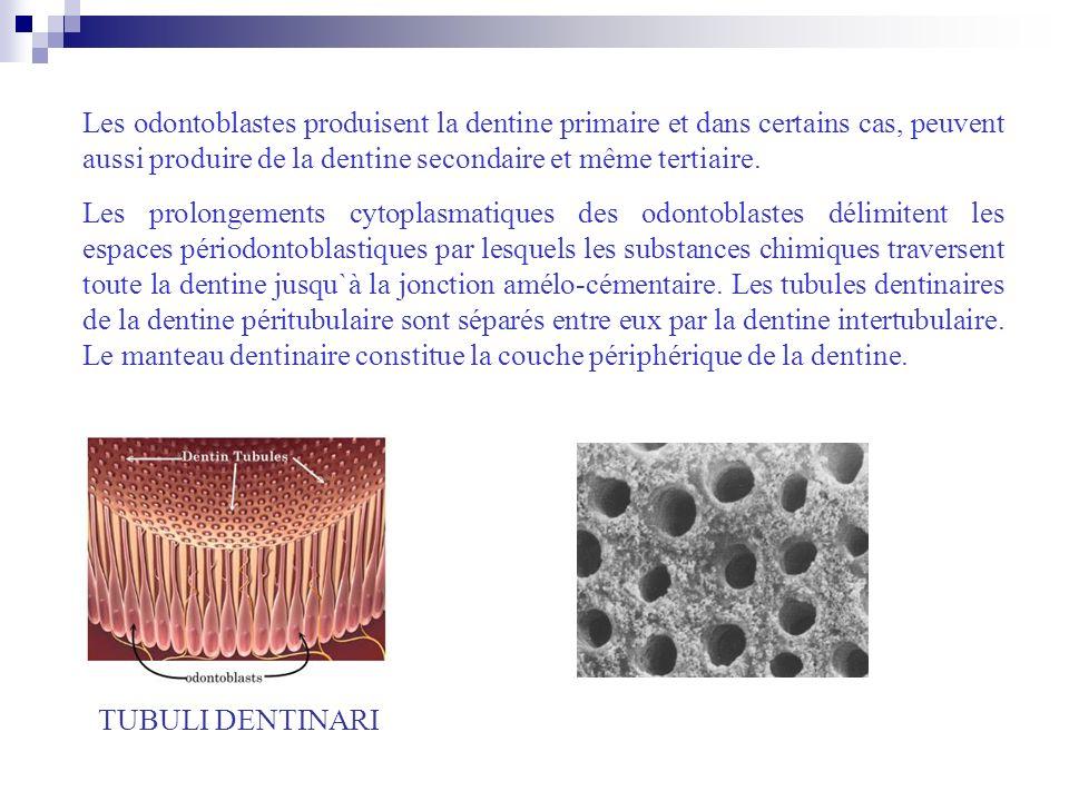 TUBULI DENTINARI Les odontoblastes produisent la dentine primaire et dans certains cas, peuvent aussi produire de la dentine secondaire et même tertia