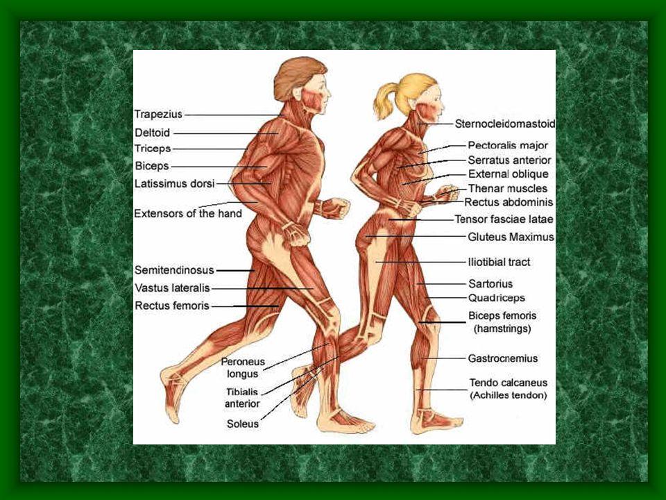 CLASSIFICATION FONCTIONNELLE DES MUSCLES Agoniste Antagonisteoppose aux mouvements du muscle agoniste AntagonisteSoppose aux mouvements du muscle agoniste Synergique Synergiqueaide le mouvement dun muscle et suprime un mouvement indésirable dantagoniste