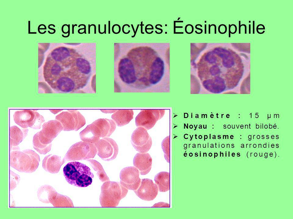 Les granulocytes: Éosinophile Diamètre : 15 µm Noyau : souvent bilobé. Cytoplasme : grosses granulations arrondies éosinophiles (rouge).