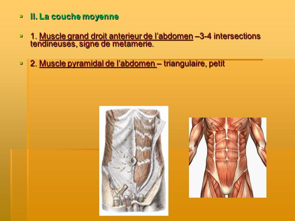 II. La couche moyenne II. La couche moyenne 1. Muscle grand droit anterieur de labdomen –3-4 intersections tendineuses, signe de metamerie. 1. Muscle