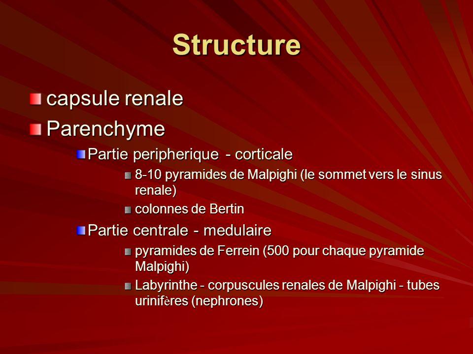 Structure capsule renale Parenchyme Partie peripherique - corticale 8-10 pyramides de Malpighi (le sommet vers le sinus renale) colonnes de Bertin Partie centrale - medulaire pyramides de Ferrein (500 pour chaque pyramide Malpighi) Labyrinthe - corpuscules renales de Malpighi - tubes urinif è res (nephrones)