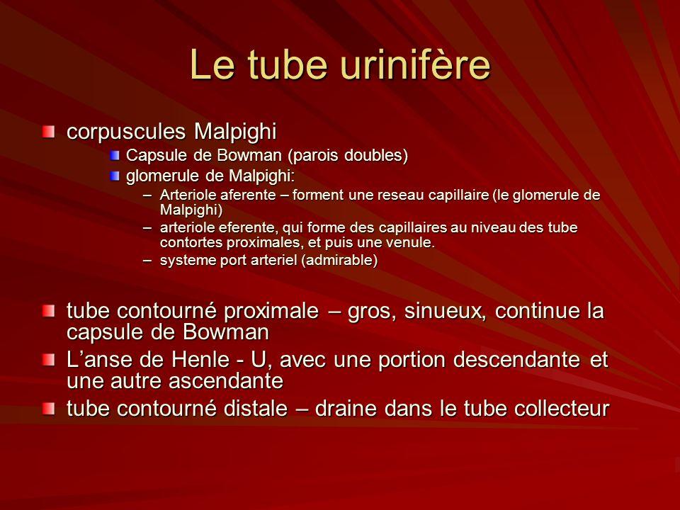 Le tube urinifère corpuscules Malpighi Capsule de Bowman (parois doubles) glomerule de Malpighi: –Arteriole aferente – forment une reseau capillaire (le glomerule de Malpighi) –arteriole eferente, qui forme des capillaires au niveau des tube contortes proximales, et puis une venule.