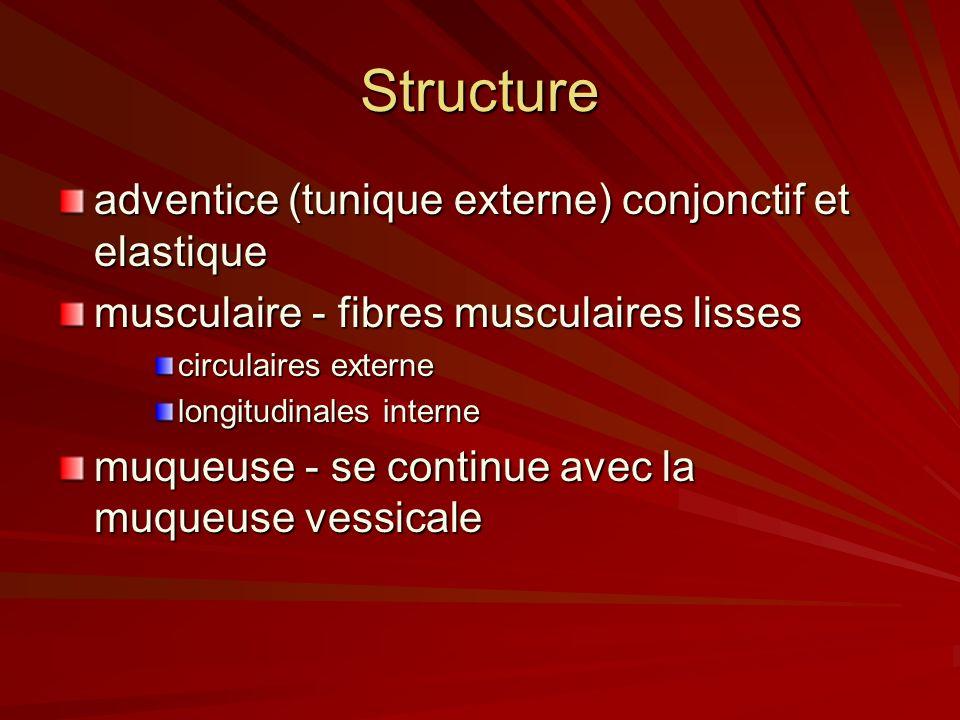Structure adventice (tunique externe) conjonctif et elastique musculaire - fibres musculaires lisses circulaires externe longitudinales interne muqueuse - se continue avec la muqueuse vessicale