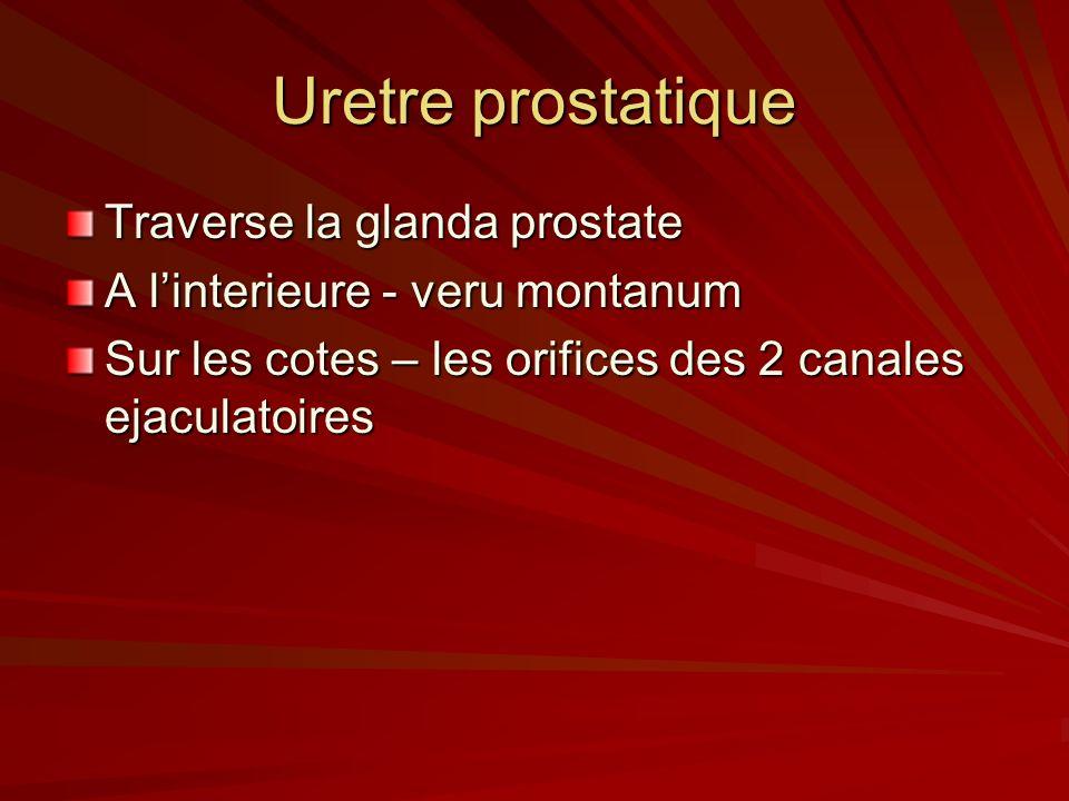 Uretre prostatique Traverse la glanda prostate A linterieure - veru montanum Sur les cotes – les orifices des 2 canales ejaculatoires