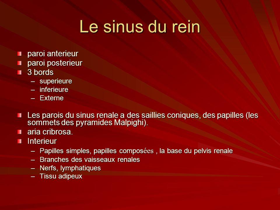Le sinus du rein paroi anterieur paroi posterieur 3 bords –superieure –inferieure –Externe Les parois du sinus renale a des saillies coniques, des papilles (les sommets des pyramides Malpighi).