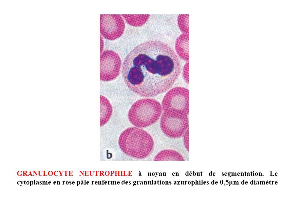 GRANULOCYTE NEUTROPHILE à noyau en début de segmentation. Le cytoplasme en rose pâle renferme des granulations azurophiles de 0,5µm de diamètre