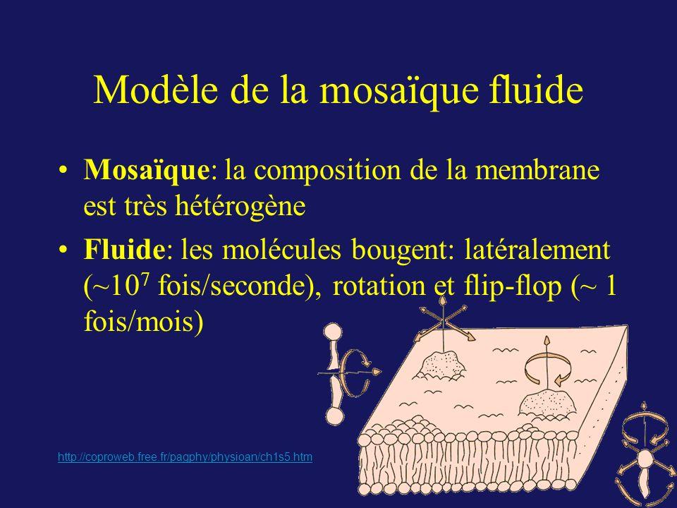 Modèle de la mosaïque fluide Mosaïque: la composition de la membrane est très hétérogène Fluide: les molécules bougent: latéralement (~10 7 fois/secon