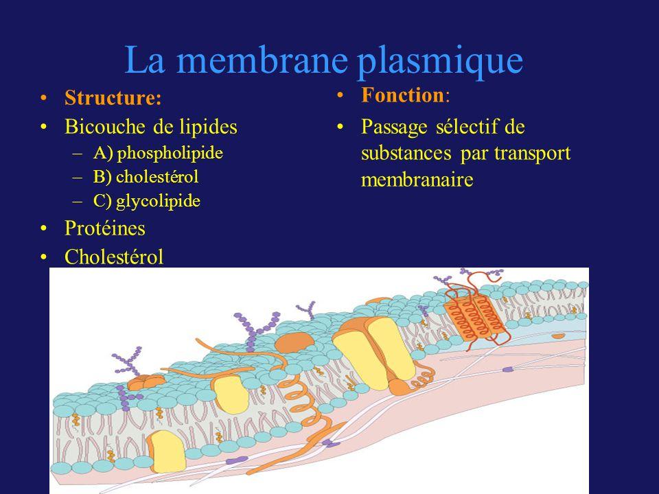 La membrane plasmique Structure: Bicouche de lipides –A) phospholipide –B) cholestérol –C) glycolipide Protéines Cholestérol Fonction: Passage sélecti
