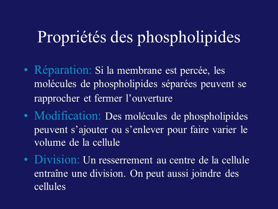 Propriétés des phospholipides Réparation: Si la membrane est percée, les molécules de phospholipides séparées peuvent se rapprocher et fermer louvertu