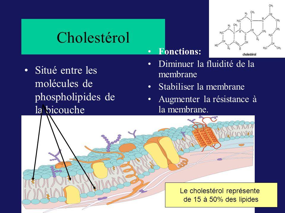 Cholestérol Situé entre les molécules de phospholipides de la bicouche Fonctions: Diminuer la fluidité de la membrane Stabiliser la membrane Augmenter