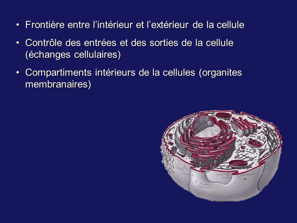 Frontière entre lintérieur et lextérieur de la celluleFrontière entre lintérieur et lextérieur de la cellule Contrôle des entrées et des sorties de la