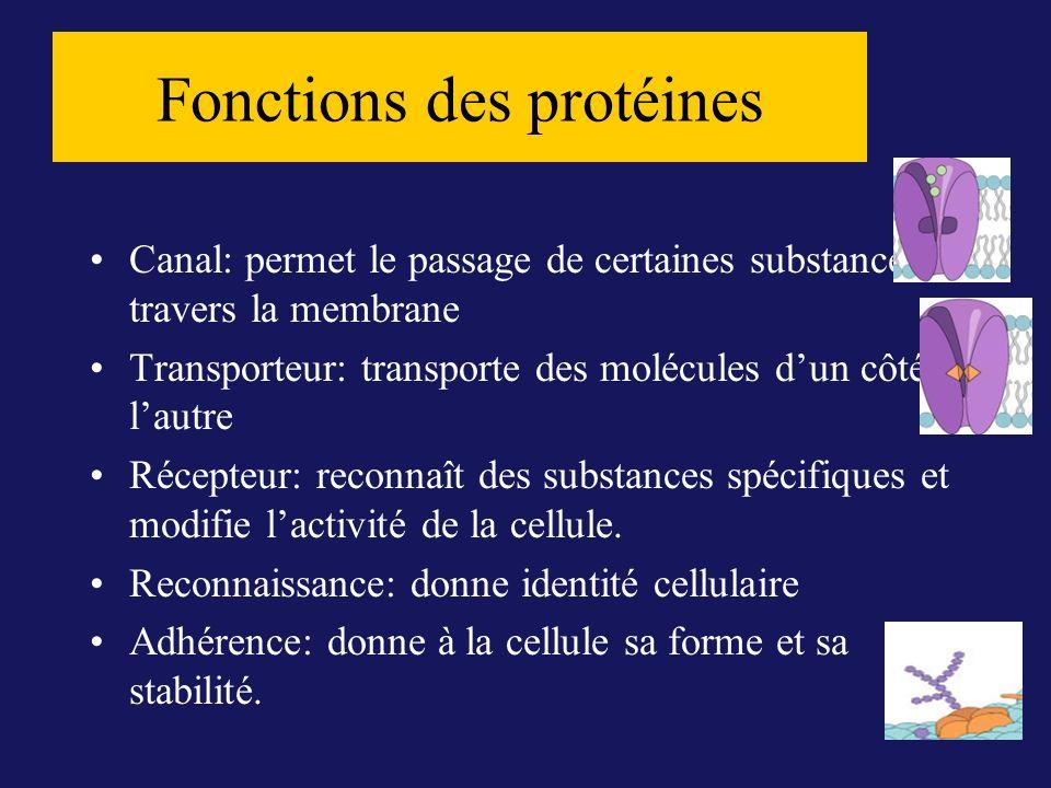 Canal: permet le passage de certaines substances à travers la membrane Transporteur: transporte des molécules dun côté à lautre Récepteur: reconnaît d