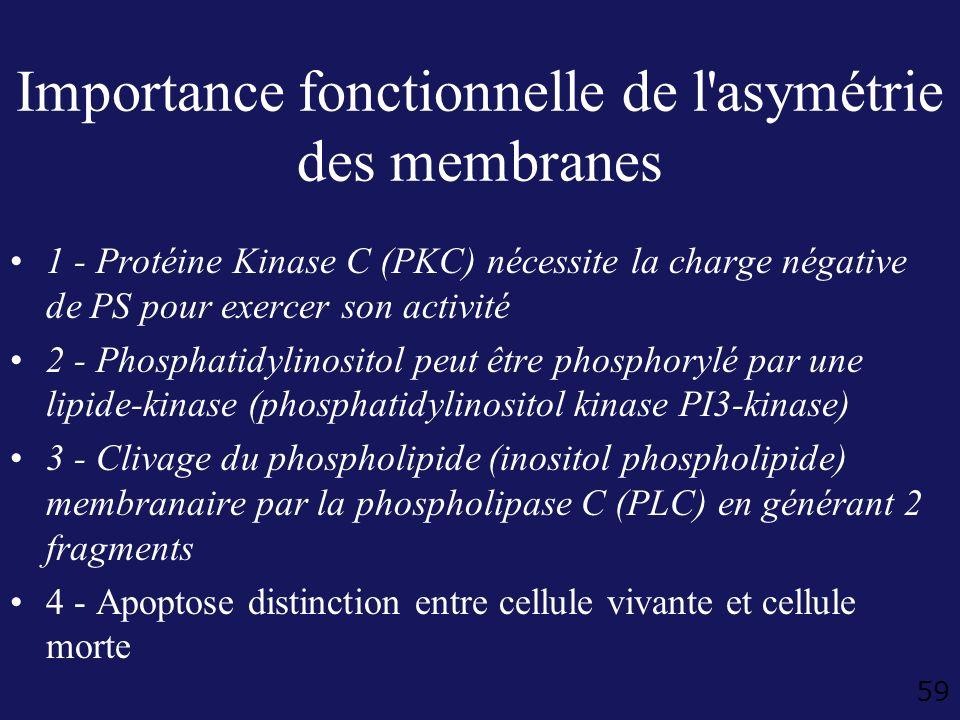 59 Importance fonctionnelle de l'asymétrie des membranes 1 - Protéine Kinase C (PKC) nécessite la charge négative de PS pour exercer son activité 2 -
