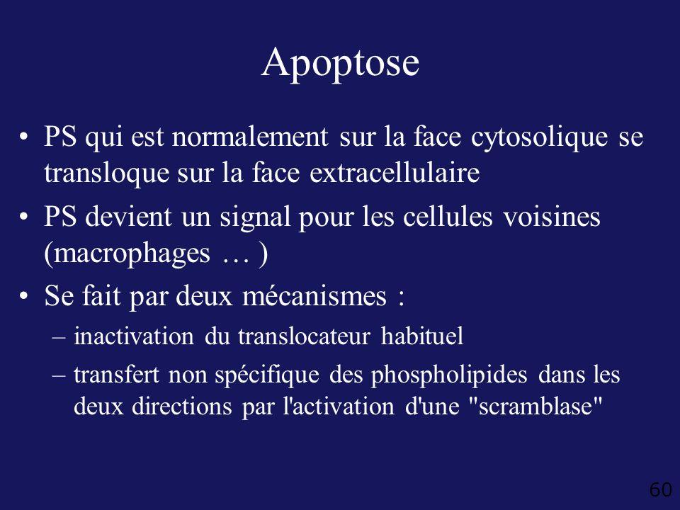 60 Apoptose PS qui est normalement sur la face cytosolique se transloque sur la face extracellulaire PS devient un signal pour les cellules voisines (