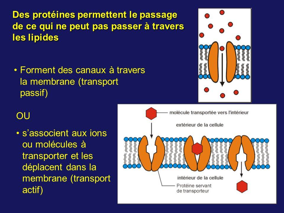 Des protéines permettent le passage de ce qui ne peut pas passer à travers les lipides Forment des canaux à travers la membrane (transport passif) OU