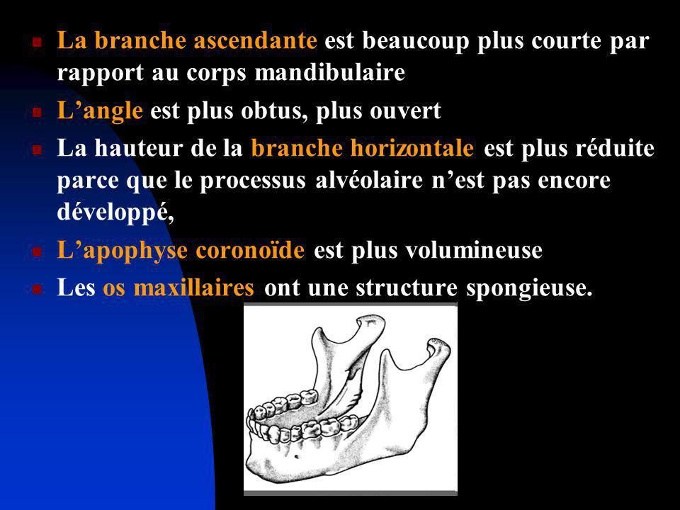 La branche ascendante est beaucoup plus courte par rapport au corps mandibulaire Langle est plus obtus, plus ouvert La hauteur de la branche horizonta