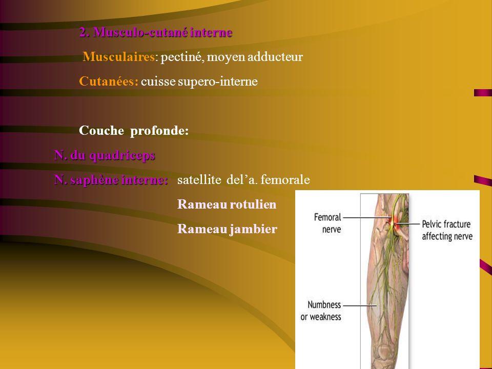 2. Musculo-cutané interne Musculaires: pectiné, moyen adducteur Cutanées: cuisse supero-interne Couche profonde: N. du quadriceps N. saphène interne:
