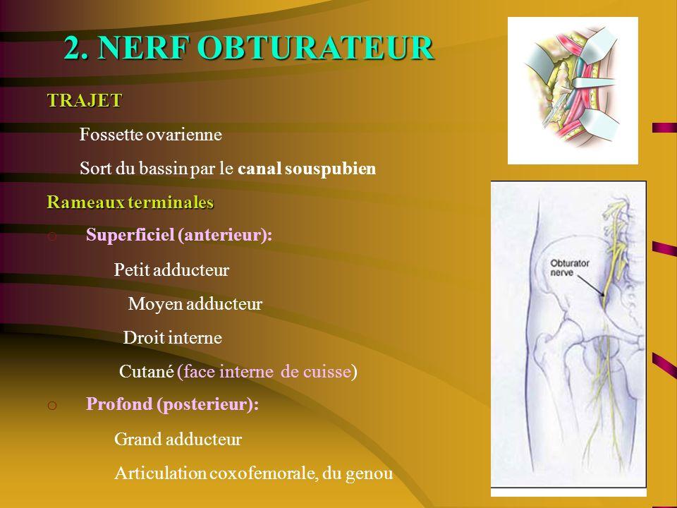 2. NERF OBTURATEUR TRAJET Fossette ovarienne Sort du bassin par le canal souspubien Rameaux terminales o Superficiel (anterieur): Petit adducteur Moye