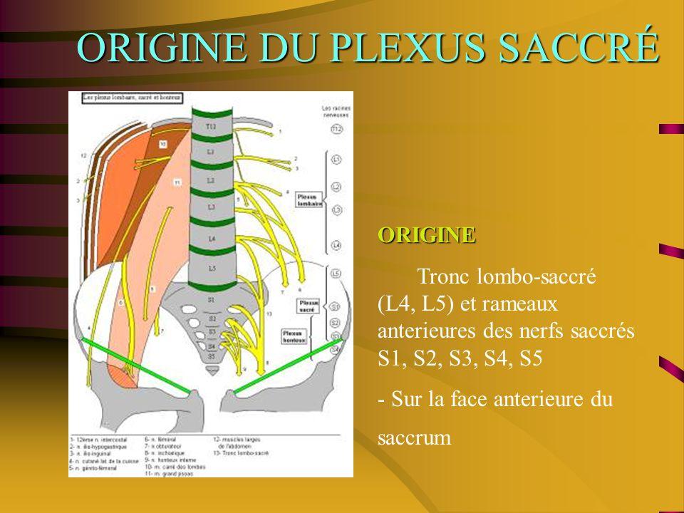 ORIGINE DU PLEXUS SACCRÉ ORIGINE Tronc lombo-saccré (L4, L5) et rameaux anterieures des nerfs saccrés S1, S2, S3, S4, S5 - Sur la face anterieure du saccrum