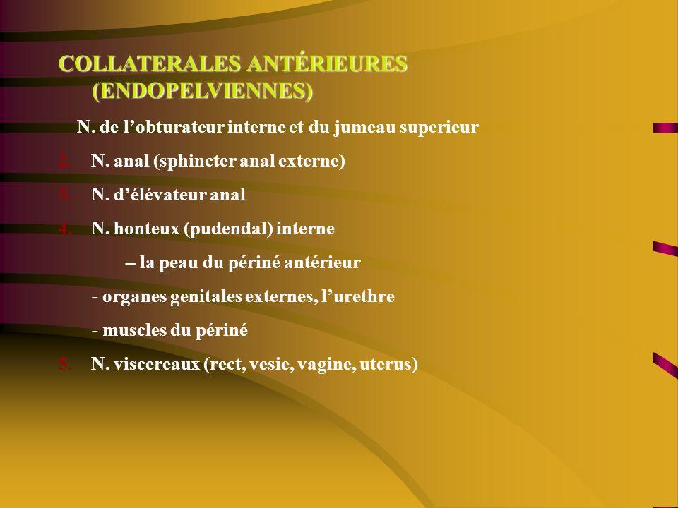 COLLATERALES ANTÉRIEURES (ENDOPELVIENNES) N.de lobturateur interne et du jumeau superieur 2.