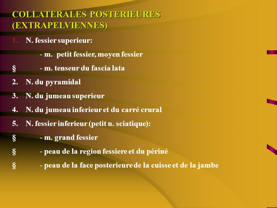 COLLATERALES POSTERIEURES (EXTRAPELVIENNES) 1.N. fessier superieur: - m.