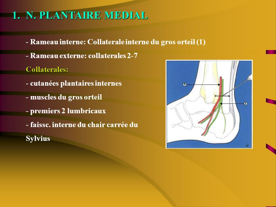 1.N. PLANTAIRE MEDIAL - Rameau interne: Collaterale interne du gros orteil (1) - Rameau externe: collaterales 2-7Collaterales: - cutanées plantaires i