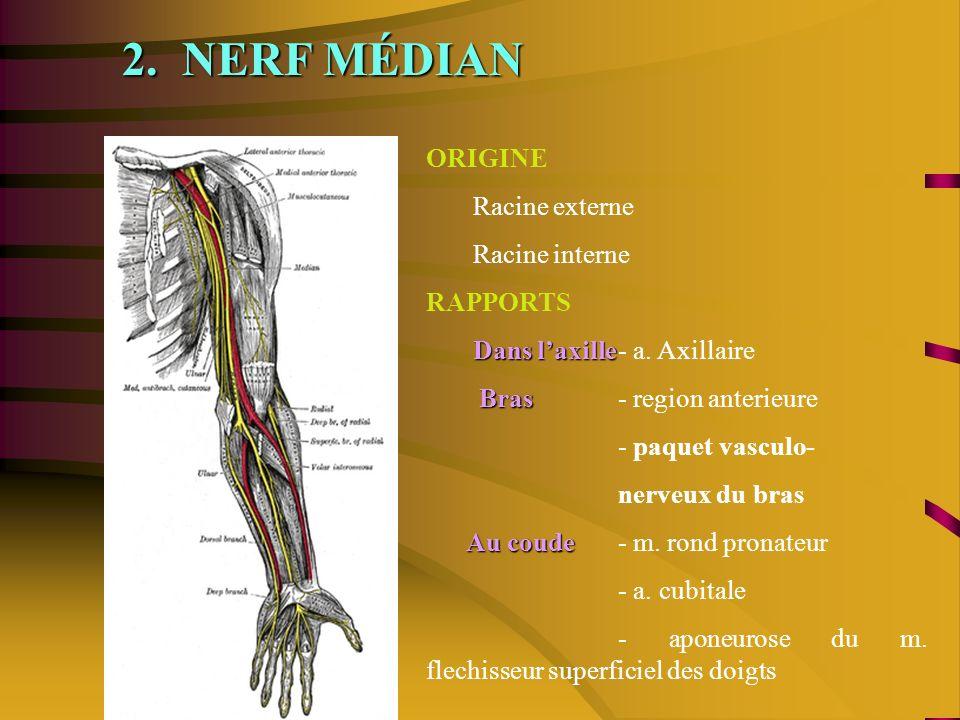 2.NERF MÉDIAN ORIGINE Racine externe Racine interne RAPPORTS Dans laxille Dans laxille- a.