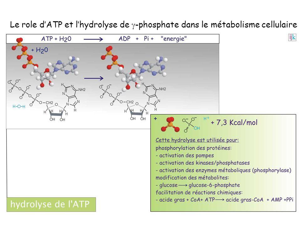 Le role dATP et lhydrolyse de -phosphate dans le métabolisme cellulaire