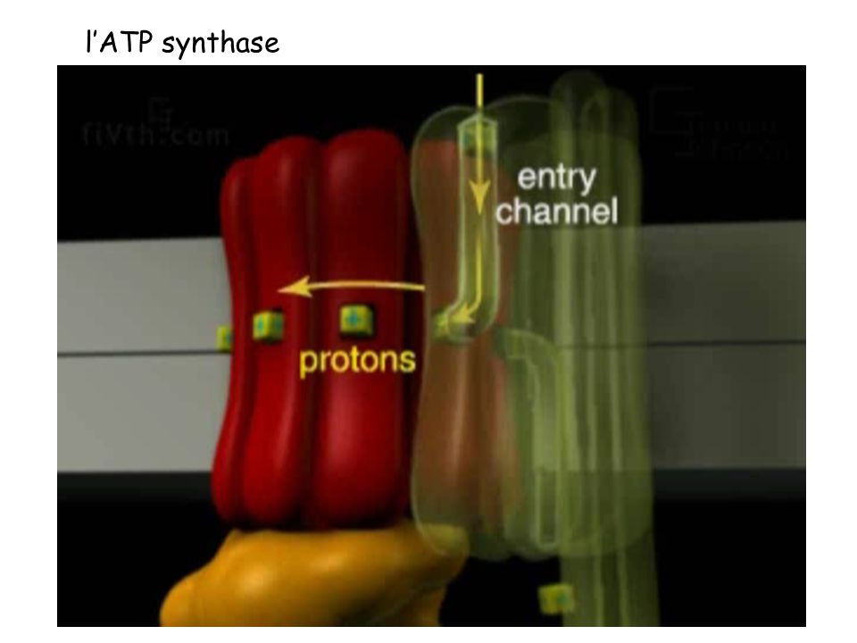 lATP synthase
