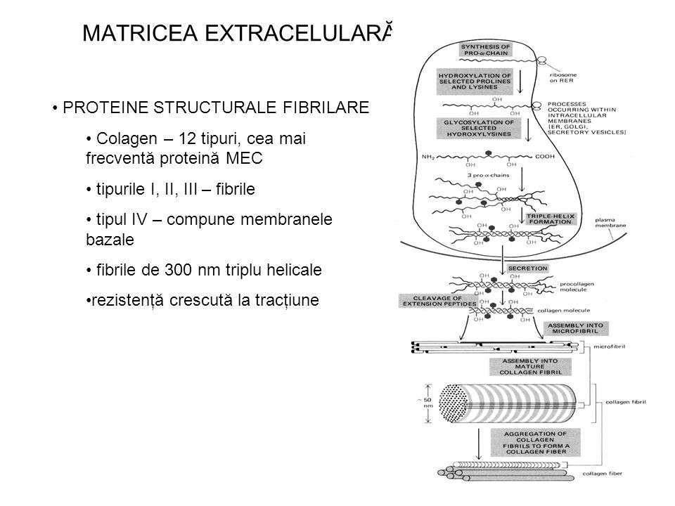 MATRICEA EXTRACELULARĂ PROTEINE STRUCTURALE FIBRILARE Colagen – 12 tipuri, cea mai frecventă proteină MEC tipurile I, II, III – fibrile tipul IV – com