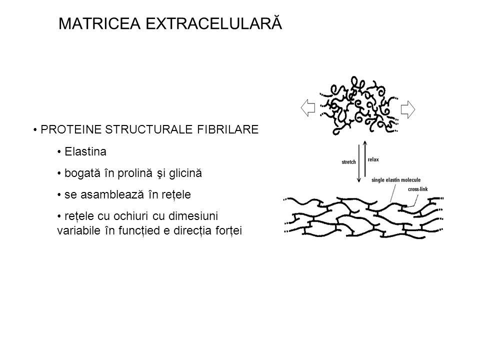 MATRICEA EXTRACELULARĂ PROTEINE STRUCTURALE FIBRILARE Elastina bogată în prolină şi glicină se asamblează în reţele reţele cu ochiuri cu dimesiuni var