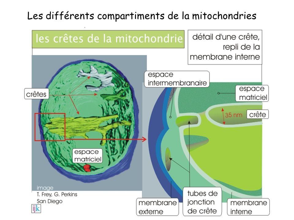 Les différents compartiments de la mitochondries