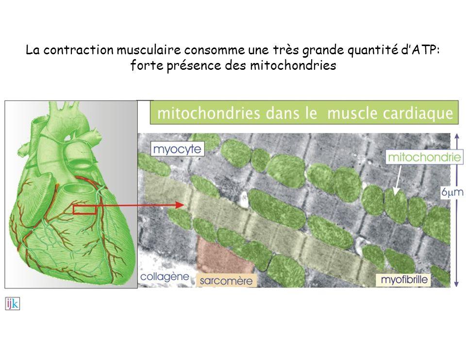 La contraction musculaire consomme une très grande quantité dATP: forte présence des mitochondries